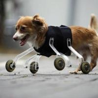 Животные-инвалиды продолжают двигаться с помощью протезов